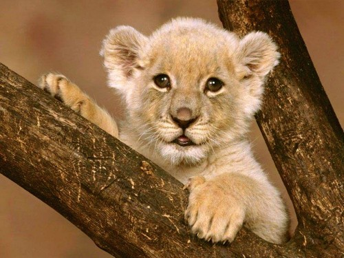 blissfully cute baby animals lion cub 12 6 totally strange but effective productivity hacks