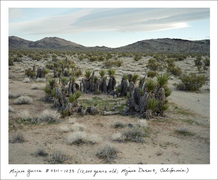 "Mojave Yucca, Mojave Desert, California, 12,000 years old. ""The approximately 12,000-year-old creosote bush and Mojave yucca both have remarkable circular structures, pushing slowly outward from a central originating stem,"" says Sussman. ""New stems replace old ones, but they are all connected by the same clonal root structure."""