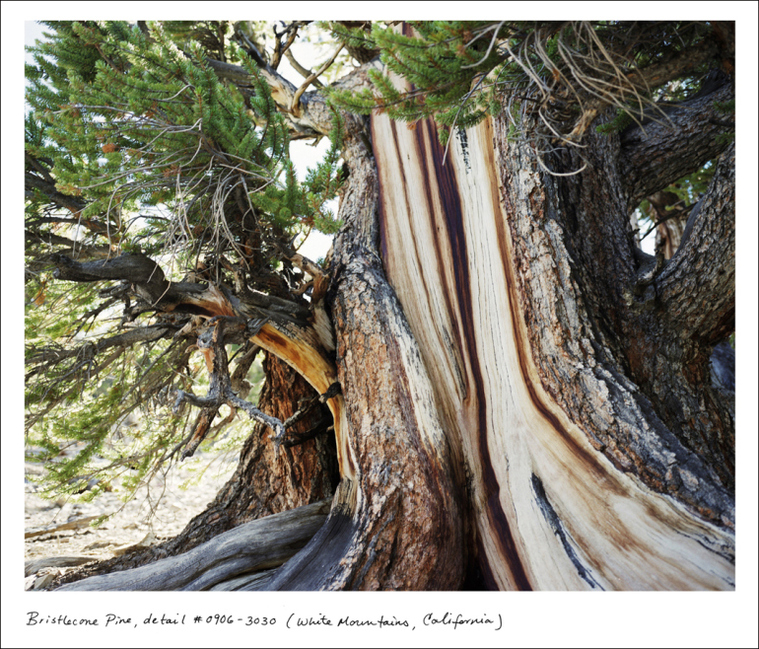 "Bristlecone Pine, White Mountains, California. ""Bristlecone pines are the oldest unitary organisms in the world, known to surpass 5,000 years in age,"" says Sussman. ""In the 1960's a then-grad student cut down what would have been the oldest known tree in the world while retrieving a lost coring bit. A cross section of that tree was placed in a Nevada casino."""