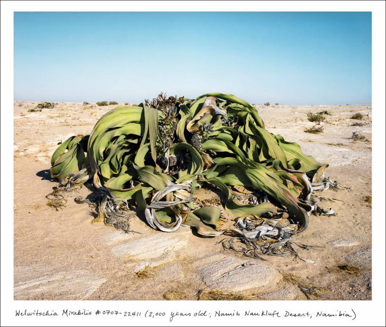 "Welwitschia Mirabilis, Namib-Naukluft Desert, Namibia, 2,000 years old. The Welwistchia is a primitive conifer living only in parts of coastal Namibia and Angola. ""Despite appearances, it only has two single leaves, which it never sheds,"" says Sussman."