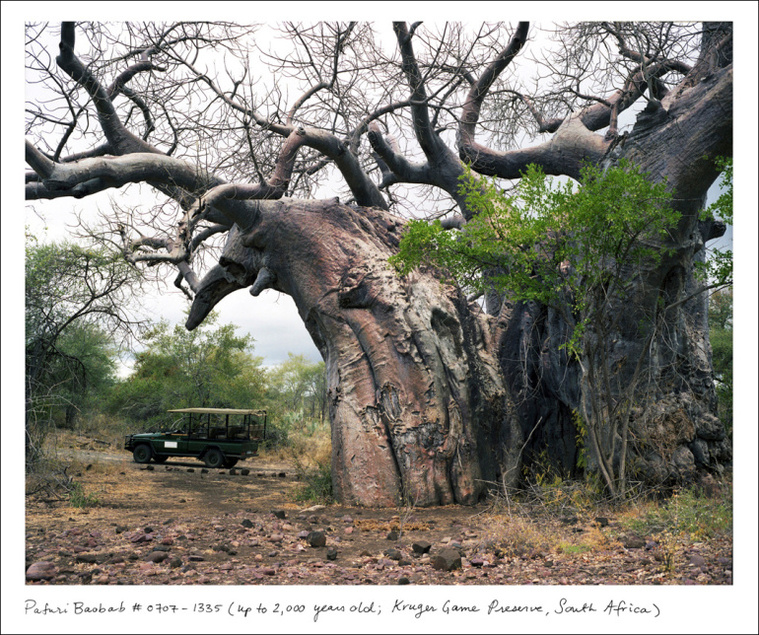 "Pafuri Baobab, Kruger National Park, South Africa, up to 2,000 years old. This particular baobab tree requires an armed escort to visit. Says Sussman, ""Baobabs get pulpy at their centers and tend to hollow out as they grow older. These hollows can serve as natural shelters for animals, but have also been appropriated for some less scrupulous human uses: for instance, as a toilet, a prison, and a bar."""